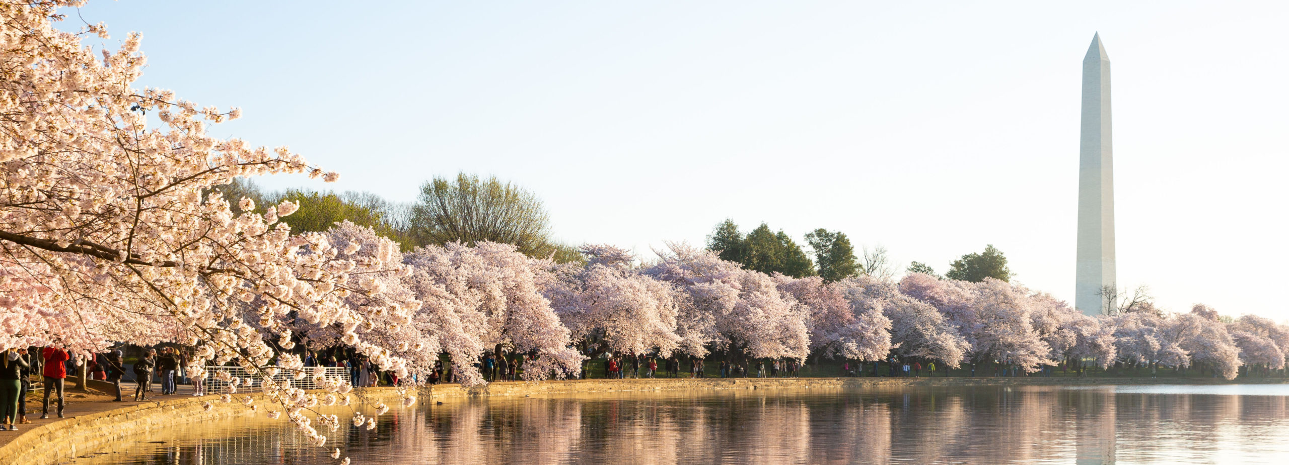 Cherry blossoms in full bloom at the Tidal Basin